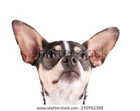 a cute rat terrier chihuahua mix isolated on a white background studio shot looking at the camera  - stock photo
