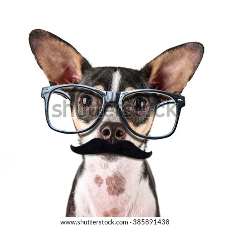 a cute rat terrier chihuahua mix isolated on a white background studio shot looking at the camera  with black frame hipster nerd glasses and a mustache  - stock photo
