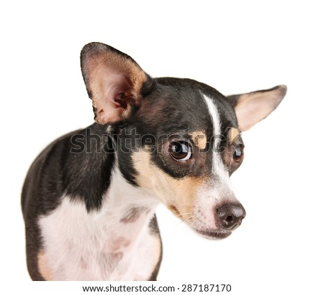 a cute rat terrier chihuahua mix looking scared isolated on a white background studio shot looking at the camera  - stock photo