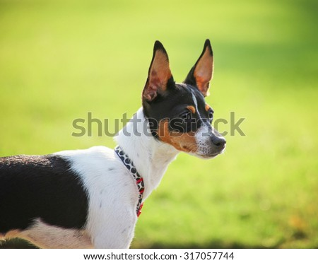 a cute rat terrier dog at a local park  - stock photo