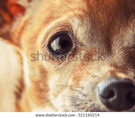 a cute senior chihuahua close up toned with a retro vintage instagram filter app or action  - stock photo
