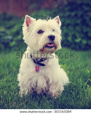 a cute westie - west highland terrier - at a local park or backyard toned with a vintage retro instagram filter effect app or action - stock photo