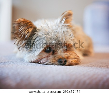 a cute yorkshire terrier peeking around while napping on a sofa  - stock photo