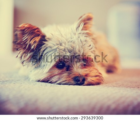 a cute yorkshire terrier peeking around while napping on a sofa toned with a retro vintage instagram filter app or action effect - stock photo