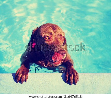 a dog at a local public pool licking his face with his tongue toned with a retro vintage  instagram filter app or action effect - stock photo