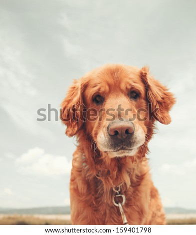 a dog enjoying the outdoors on a beautiful summer day vintage toned - stock photo