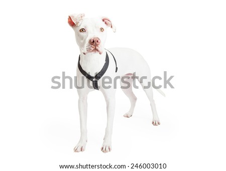 A Dogo Argentino Dog standing at an angle looking forward.