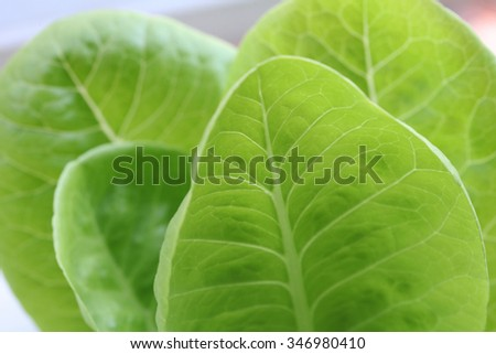 a fresh green leaf of hydroponic vegetable in the farm  - stock photo