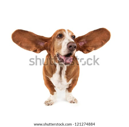 a funny basset hound - stock photo