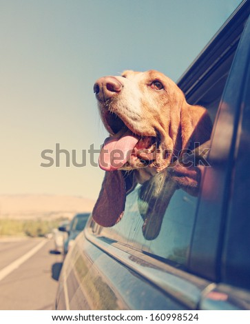 a funny basset hound with her head out of a car window and tongue out vintage toned - stock photo
