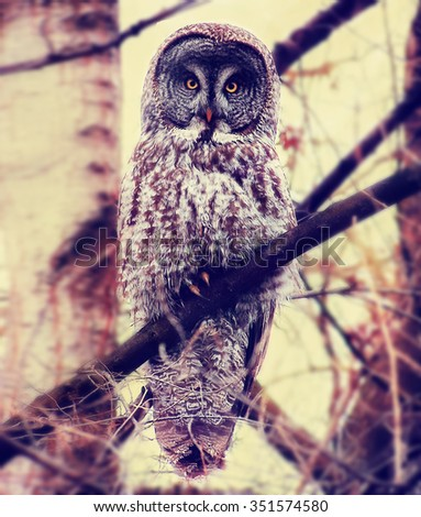 a great gray owl toned with a retro vintage instagram filter effect  - stock photo
