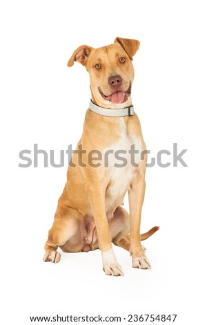 A happy looking Staffordshire Bull Terrier Mix Breed Dog sitting with an open mouth and looking forward.