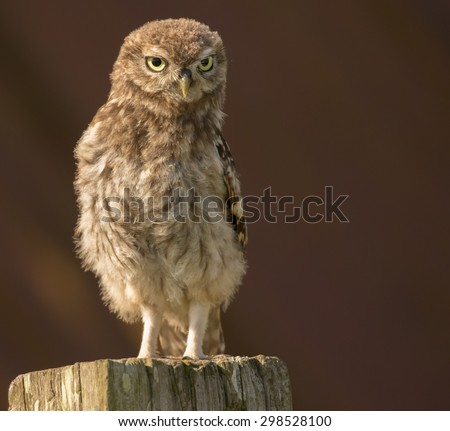 A juvenile Little owl sitting on a post in front of a collapsed barn roof. - stock photo