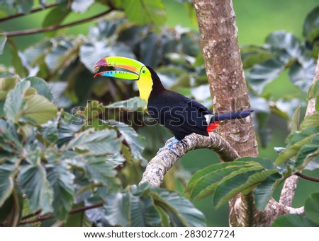 A Keel Billed Toucan eating.  Also called a Rainbow Toucan.  He juggles a tiny piece of food in his huge beak.  They break of fa small piece of food, toss it in the air and catch it. - stock photo