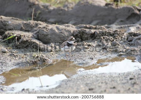 A little ringed plover (Charadrius dubius) living on a building site. - stock photo