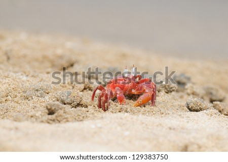 A lonely Fiddler crab defending its terittory - stock photo