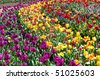 A Lot of Beautiful different tulips - stock photo