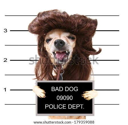 a mugshot of a cute chihuahua with a wig on - stock photo