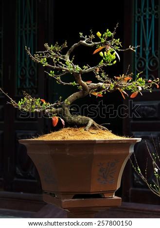 a ochna integerrima integerrima branch, the flowers of traditional Vietnamese new year - stock photo