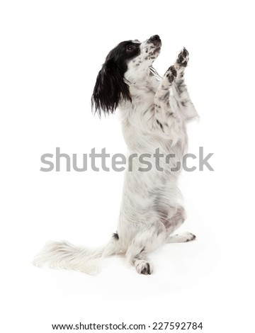 A Papillon Mix Breed Dog begging while looking to the side.  - stock photo