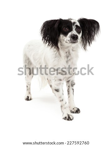 A Papillon Mix Breed Dog standing at an angle while looking off to the side.  - stock photo