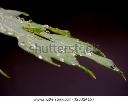 . A photo of a water drop on a papaya leaf after heavy rain has stop. Picture taken in my backyard garden at Bangkok Thailand.