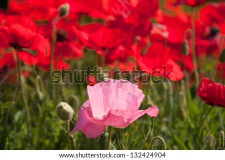 A pink poppy in a field of red poppies. - stock photo