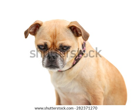 a pug chihuahua mix dog isolated on a white background  - stock photo