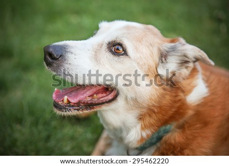a senior dog laying in the grass in a backyard  - stock photo