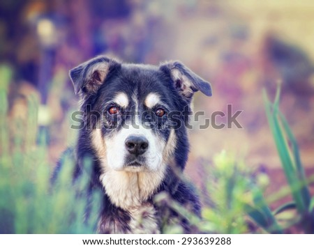 a senior dog laying in the grass in a backyard looking at the camera toned with a retro vintage instagram filter effect app or action effect - stock photo