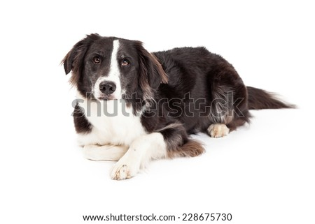 A serious looking Border Collie Dog laying at an angle while looking forward.  - stock photo