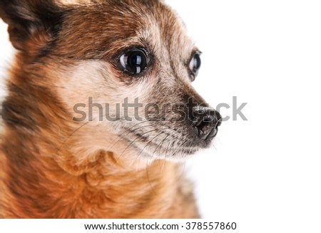 a small senior dog pouting isolated on a white background  - stock photo