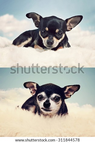 a tiny chihuahua on a cloud in the sky when he was a puppy and as a senior dog  - stock photo