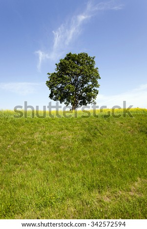 a tree with green leaves growing in a field, which grows rapeseed - stock photo