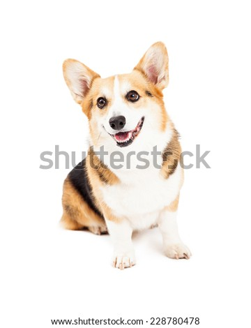 A very cute Pembroke Welsh Corgi Dog sitting while looking off to the side.  - stock photo