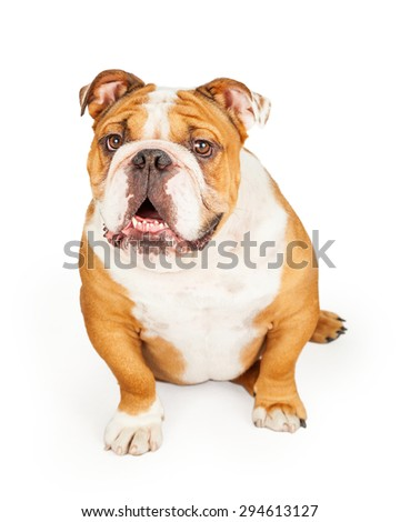 A very happy English Bulldog sitting looking forward.  Mouth is slightly open.