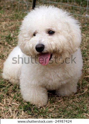 A white cute poodle puppy on the meadow. - stock photo