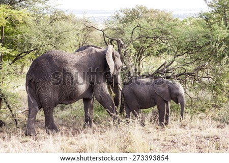 A young elephant right next to an adult one. - Tanzania. - stock photo
