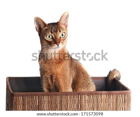 Abyssinian Cat  sitting in a box isolated on white - stock photo