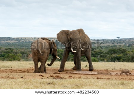 the two species of elephants Panel a of the following figure shows the relationships among mammoths and the living elephant species, with african elephants consisting of two species.