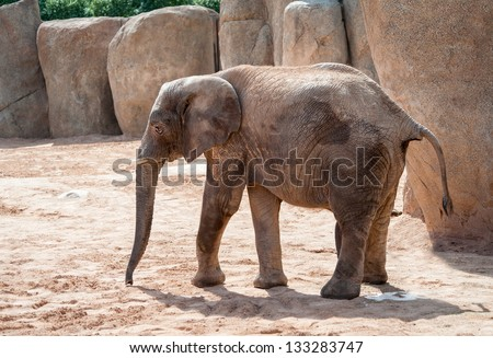 African Bush Elephants walking
