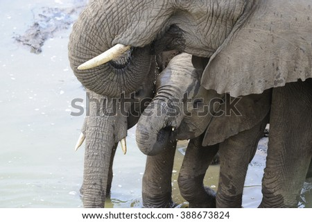African Elephant (Loxodonta africana). Calf drinks amidst the protective bulk of the herd. - stock photo