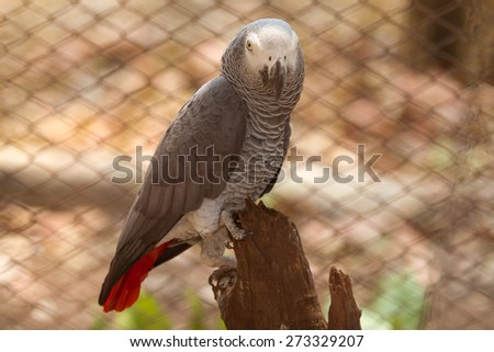 African gray parrot with parenting in cage