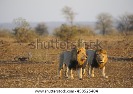 African lion (panthera leo) coalition of pride mails on patrol - stock photo