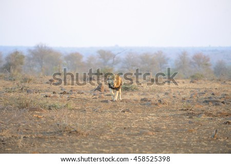 African lion (panthera leo) in full chase.  - stock photo