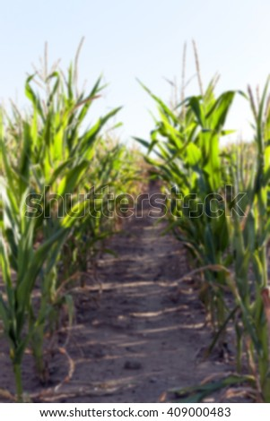 Agricultural field on which grow green immature corn, agriculture, sky, out of focus, defocus