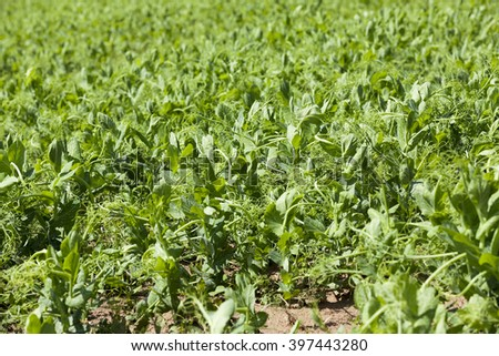 Agricultural field on which grow green peas. Spring. close-up - stock photo