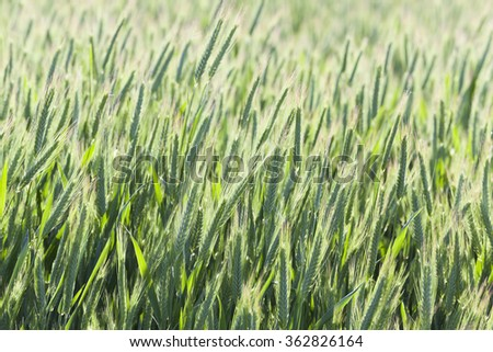 Agricultural field on which grow green unripe cereal. Spring