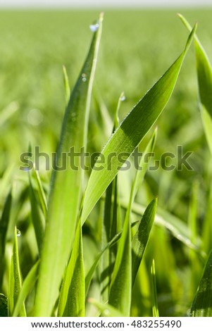 Agricultural field on which grow immature young cereals, wheat.