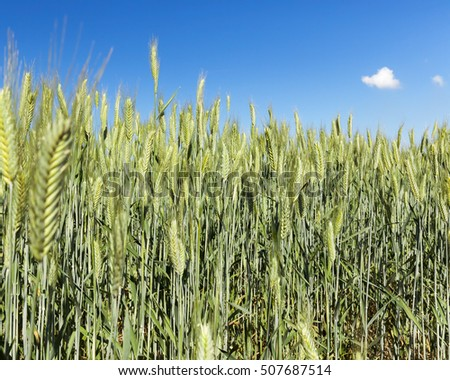 Agricultural field on which grow immature young cereals, wheat. Blue sky with clouds in the background